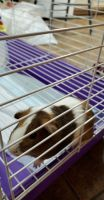 Guinea Pig Rodents for sale in Burnet, TX 78611, USA. price: NA