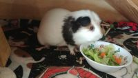 Guinea Pig Rodents for sale in Tempe, AZ, USA. price: NA