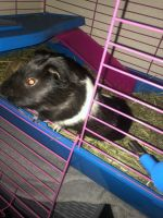 Guinea Pig Rodents for sale in South Gate, CA, USA. price: NA