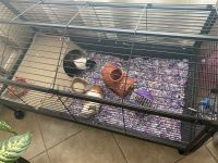 Guinea Pig Rodents for sale in Boynton Beach, FL 33436, USA. price: NA