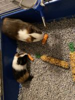 Guinea Pig Rodents for sale in Elizabethtown, KY, USA. price: NA