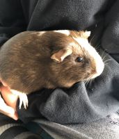 Guinea Pig Rodents for sale in Grand Haven, MI, USA. price: NA