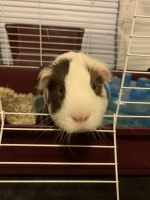 Guinea Pig Rodents for sale in Auburn Hills, MI, USA. price: NA