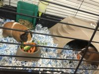Guinea Pig Rodents for sale in Plant City, FL, USA. price: NA
