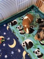 Guinea Pig Rodents for sale in Spokane, WA, USA. price: NA