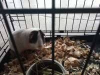 Guinea Pig Rodents for sale in Hondo, TX 78861, USA. price: NA