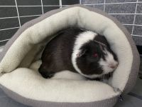 Guinea Pig Rodents for sale in Princeton, FL 33032, USA. price: NA