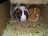 Guinea Pig Rodents for sale in Spraggs, PA 15362, USA. price: NA