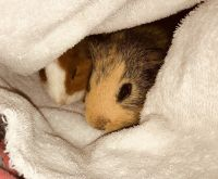 Guinea Pig Rodents for sale in Palm Bay, FL, USA. price: NA