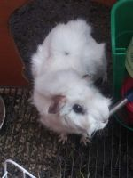 Guinea Pig Rodents for sale in Sanger, TX 76266, USA. price: NA