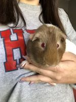 Guinea Pig Rodents for sale in Greensboro, NC 27410, USA. price: NA