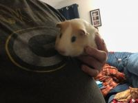Guinea Pig Rodents for sale in Watertown, WI, USA. price: NA