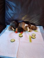 Guinea Pig Rodents for sale in Chula Vista, CA, USA. price: NA