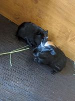 Guinea Pig Rodents for sale in 107 Country Pl Cir, Seneca, SC 29678, USA. price: NA
