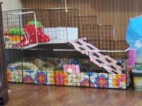 Guinea Pig Rodents for sale in Holden, LA 70744, USA. price: NA