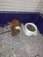 Guinea Pig Rodents for sale in 12703 Jones Rd, Houston, TX 77070, USA. price: NA