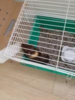 Guinea Pig Rodents for sale in Pembroke Park, FL 33021, USA. price: NA