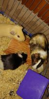 Guinea Pig Rodents for sale in Longview, TX, USA. price: NA