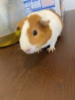 Guinea Pig Rodents for sale in 1100 E Oltorf St, Austin, TX 78704, USA. price: NA