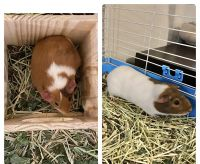 Guinea Pig Rodents for sale in Chattanooga, TN, USA. price: NA