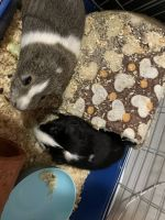 Guinea Pig Rodents for sale in Charlotte, NC, USA. price: NA