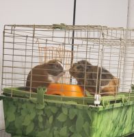 Guinea Pig Rodents for sale in Leavenworth, KS, USA. price: NA