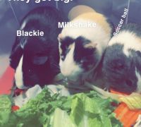 Guinea Pig Rodents for sale in Melrose Park, IL 60160, USA. price: NA