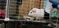 Guinea Pig Rodents for sale in Davison, MI 48423, USA. price: NA