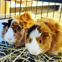 Guinea Pig Rodents for sale in Matawan, NJ 07747, USA. price: NA