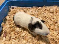 Guinea Pig Rodents Photos