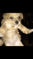 Gully Terrier Puppies for sale in 124 FM 1960, Houston, TX 77073, USA. price: NA
