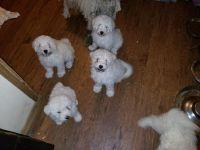 Hairless Khala Puppies Photos