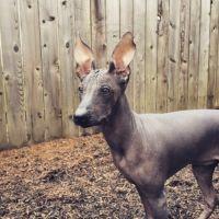 hairless khala dog
