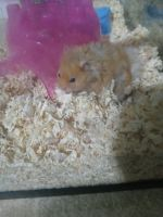 Hamster Rodents Photos