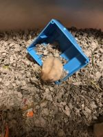 Hamster Rodents for sale in Torrance, CA, USA. price: NA