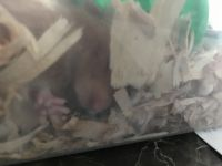 Hamster Rodents for sale in 1121 Morrison Ave, The Bronx, NY 10472, USA. price: NA