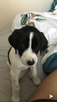 Hanover Hound Puppies Photos
