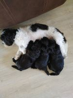 Havanese Puppies for sale in Spring Hill, FL, USA. price: NA
