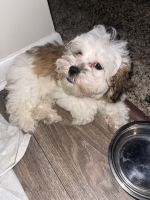Havanese Puppies for sale in Southfield, MI, USA. price: NA