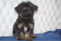 Havanese Puppies for sale in Chattanooga, TN, USA. price: NA