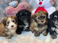 Havanese Puppies for sale in Honolulu, HI, USA. price: NA