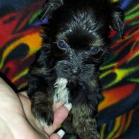 Havanese Puppies for sale in Avondale, AZ, USA. price: NA