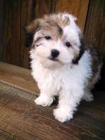 Havanese Puppies for sale in LOS RANCHOS DE ABQ, NM 87114, USA. price: NA