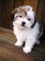 Havanese Puppies for sale in El Paso, TX 79934, USA. price: NA