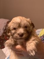 Havanese Puppies for sale in Oxford, MS 38655, USA. price: NA