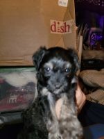 Havanese Puppies for sale in Cloverdale, OR 97112, USA. price: NA