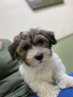 Havanese Puppies for sale in Bradenton, FL, USA. price: NA