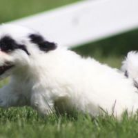 Havanese Puppies for sale in 3720 N Tryon St, Charlotte, NC 28206, USA. price: NA