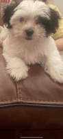 Havanese Puppies for sale in Tracy, CA, USA. price: NA