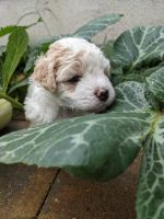 Havanese Puppies for sale in Wayne, PA, USA. price: NA